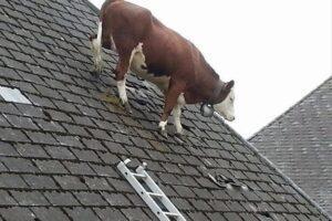 cow sloped roof.jpg